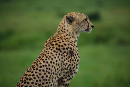 12-cheetah-in-tanzania-kenya_Fotor.jpg